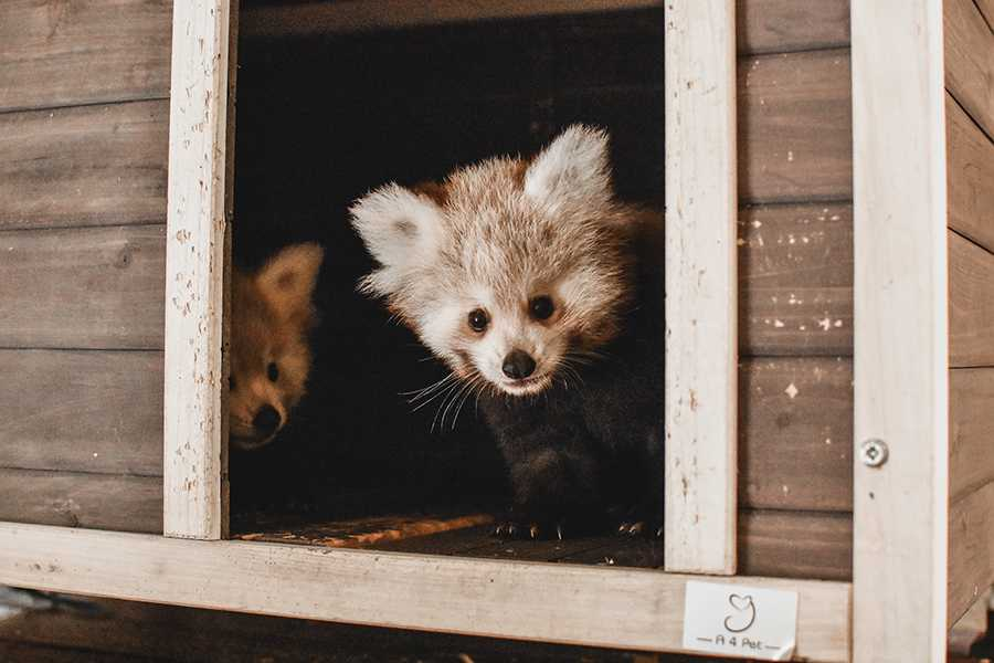 Virginia Zoo Announces Red Panda Cubs Names