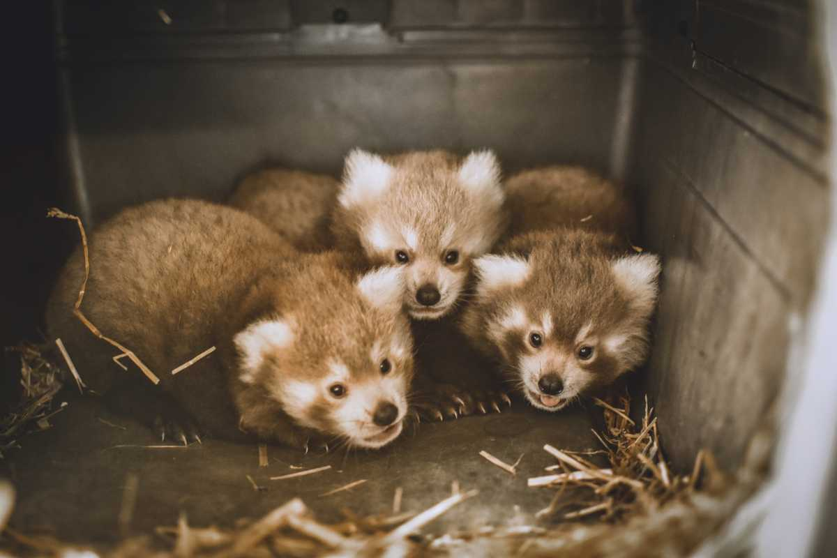 Triplets for Masu the Red Panda!