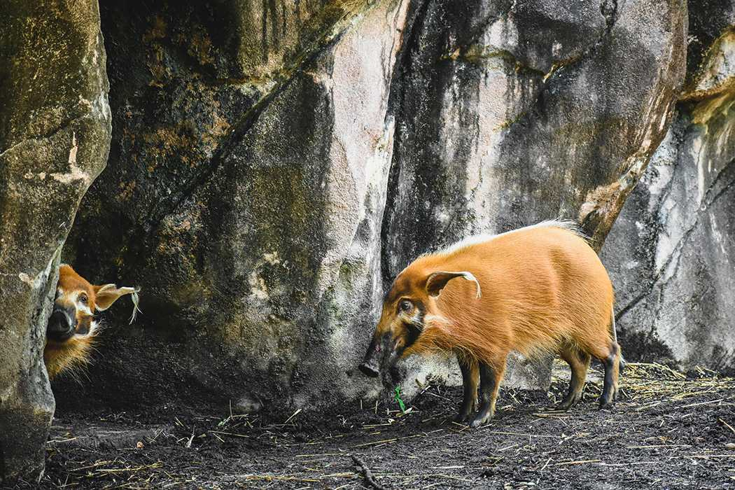 Virginia Zoo Has Two New Attention Hogs